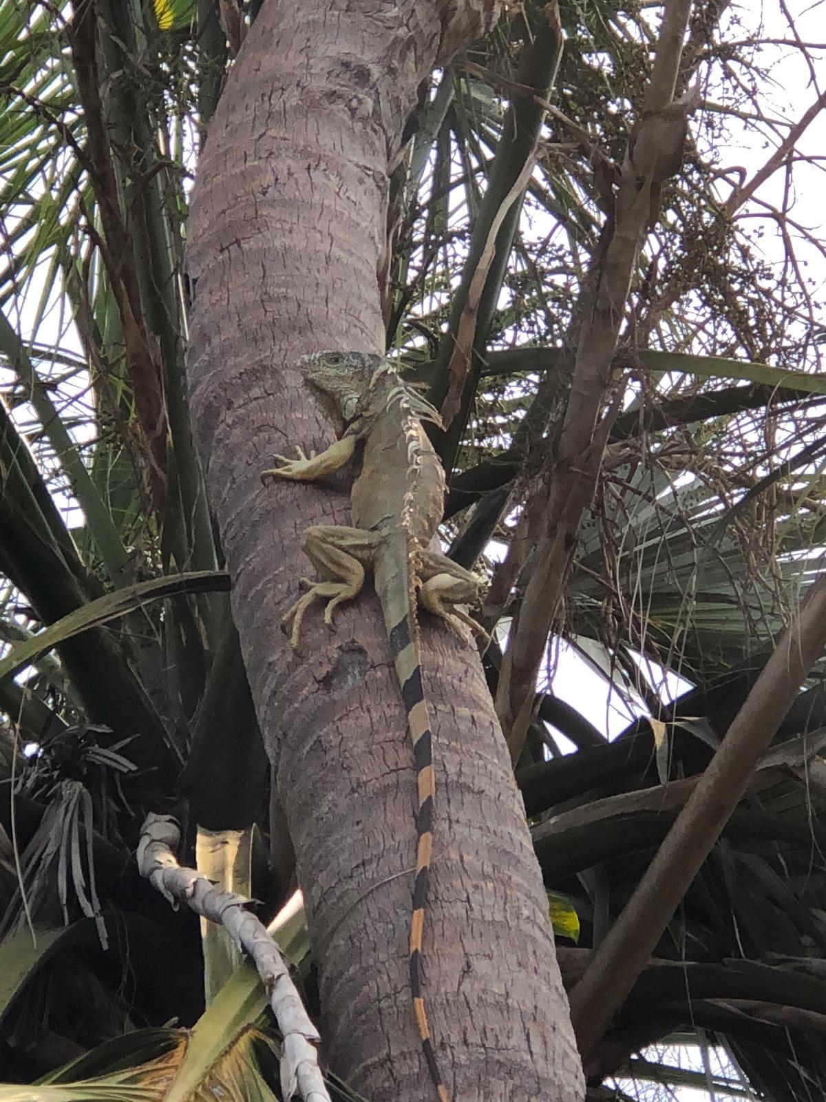 mr-iguana